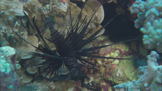 a lionfish rests on a coral. - lionfish stock videos & royalty-free footage