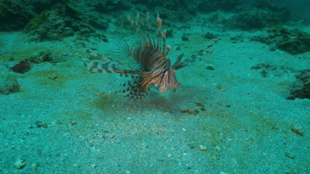 Lionfish swimming close to ground undersea (4K)