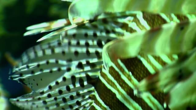 rotfeuerfisch schwimmen im aquarium - tier in gefangenschaft stock-videos und b-roll-filmmaterial