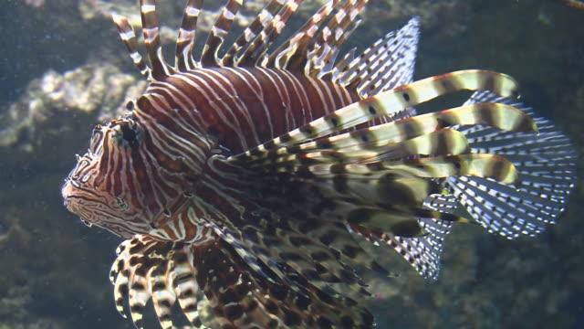 rotfeuerfisch schwimmen im aquarium - drachenkopf stock-videos und b-roll-filmmaterial