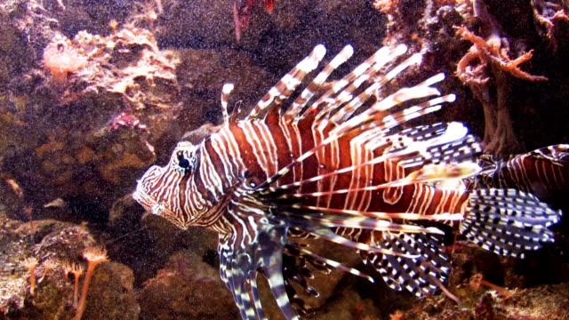 Lionfish swimming in aquarium