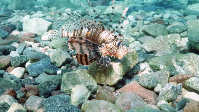 lionfish swimming - drachenkopf stock-videos und b-roll-filmmaterial