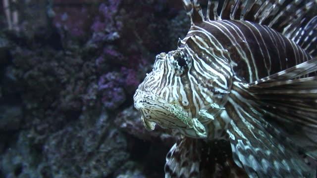 vídeos y material grabado en eventos de stock de natación (hd1080i) pez león - rascacio