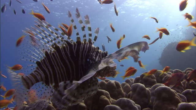 a lionfish swims above the seafloor in the red sea. - red sea stock videos & royalty-free footage