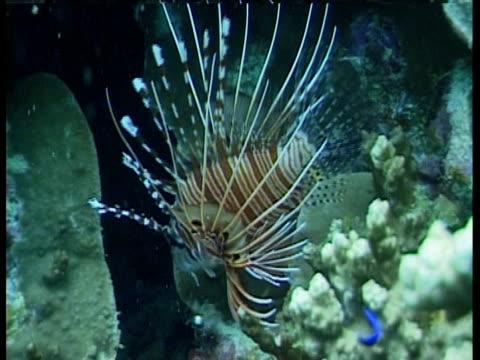 vídeos y material grabado en eventos de stock de a lionfish swims among coral formations. - vibrisas