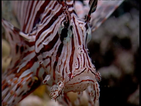 Lionfish swims over reef, Sulawesi