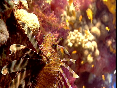 Lionfish swims up over coral reef, Red Sea