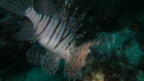 feuerfische undersea - drachenkopf stock-videos und b-roll-filmmaterial
