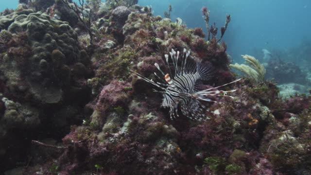 vídeos y material grabado en eventos de stock de lionfish - rascacio