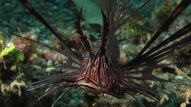 lionfish - tierfarbe stock-videos und b-roll-filmmaterial