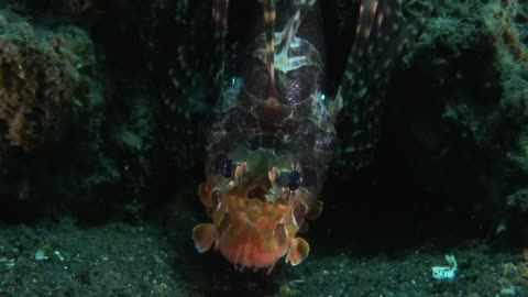 lionfish - drachenkopf stock-videos und b-roll-filmmaterial