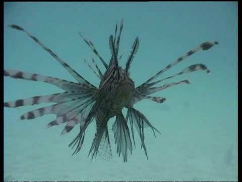 vídeos y material grabado en eventos de stock de cu lionfish, zoom out to pair of lionfish hunting shoal of small fish, mabul, borneo, malaysia - rascacio