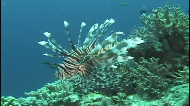 vídeos y material grabado en eventos de stock de lionfish/turkeyfish (pterois unknown species) over reef. papua new guinea - rascacio