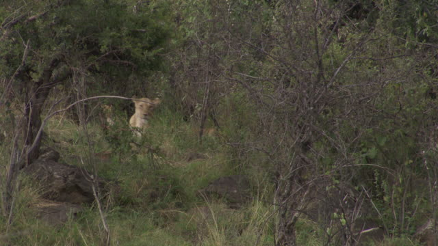 stockvideo's en b-roll-footage met ms lions and cubs in bush / tanzania  - kleine groep dieren