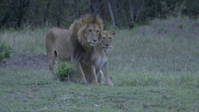 stockvideo's en b-roll-footage met ms pan lions and cubs playing in grass / tanzania - kleine groep dieren