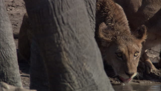 lions and elephant at waterhole, botswana - waterhole stock videos & royalty-free footage