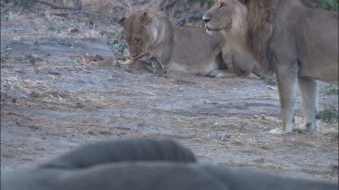 lions and elephant, botswana - small group of animals stock videos & royalty-free footage