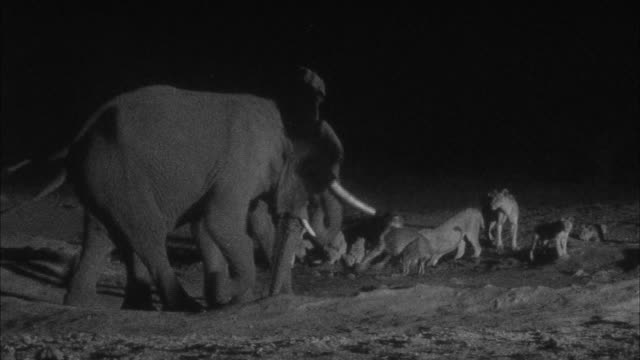 vídeos de stock, filmes e b-roll de lions and elephants at waterhole at night, botswana - elefante
