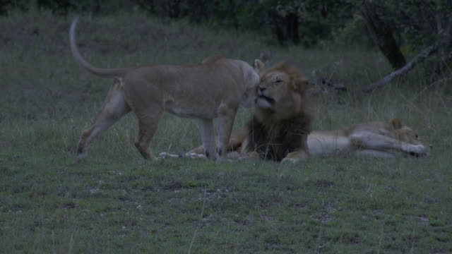 stockvideo's en b-roll-footage met ms lions and lioness laying in grass and yawning / tanzania - kleine groep dieren