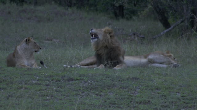 vídeos de stock e filmes b-roll de ms lions and lioness laying in grass and yawning / tanzania - grupo pequeno de animais