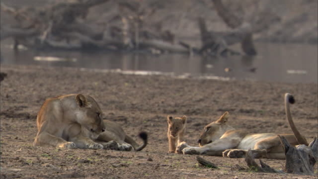 lions (panthera leo) and young cub rest on riverbank, luangwa, zambia  - lion stock videos & royalty-free footage