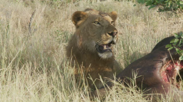 lions at a buffalo kill in kruger national park / south africa - totschlag stock-videos und b-roll-filmmaterial