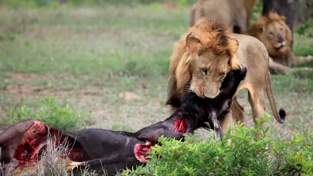 lions dragging carcass/ kruger national park/ south africa - dragging stock videos & royalty-free footage