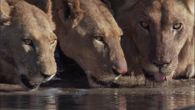 lions drink from waterhole, botswana - waterhole stock videos & royalty-free footage