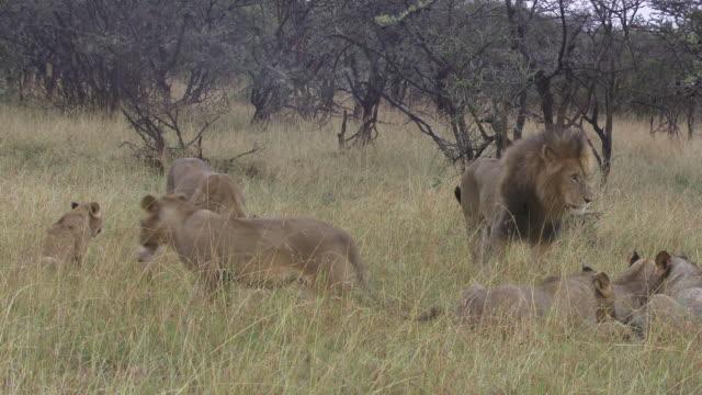ms  zi pan lions eating / tanzania - gruppo medio di animali video stock e b–roll
