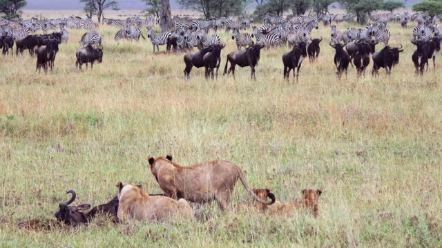 Lions eating wildebeest carcass in Serengeti National Park, Tanzania, during annual migration