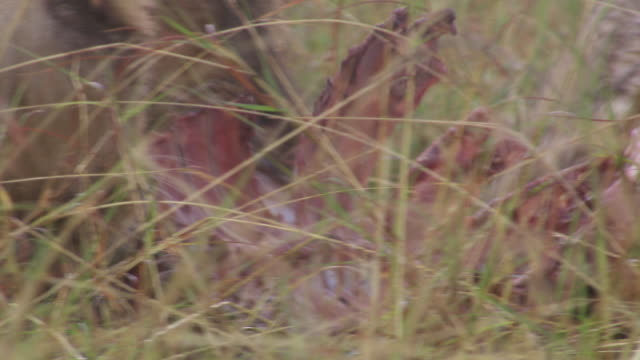 cu lions eating zebra / tanzania - small group of animals stock videos & royalty-free footage
