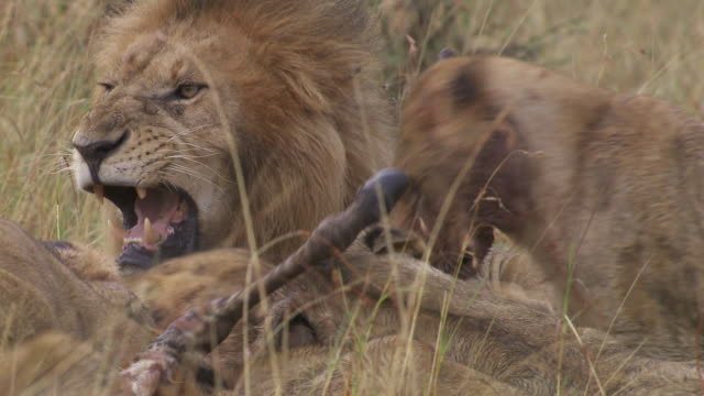 ms zo zi lions eating zebra / tanzania - gruppo medio di animali video stock e b–roll