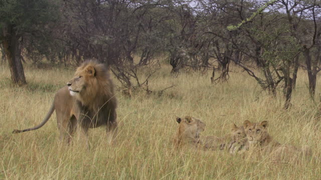 ms ts lions eating zebra / tanzania - kleine gruppe von tieren stock-videos und b-roll-filmmaterial