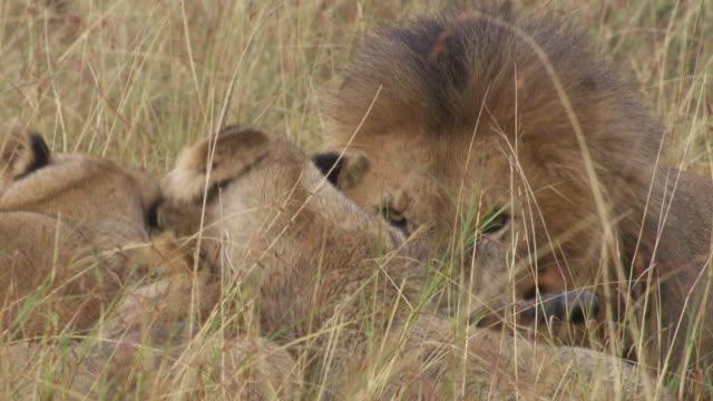 cu lions eating zebra / tanzania - kleine gruppe von tieren stock-videos und b-roll-filmmaterial
