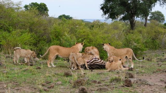 Lions de manger zèbre
