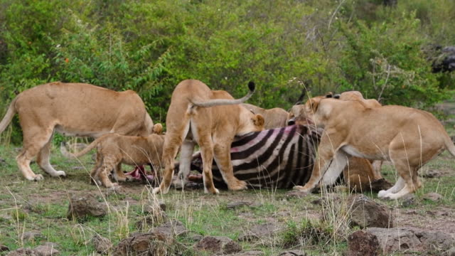lions eating zebra - lion stock videos & royalty-free footage