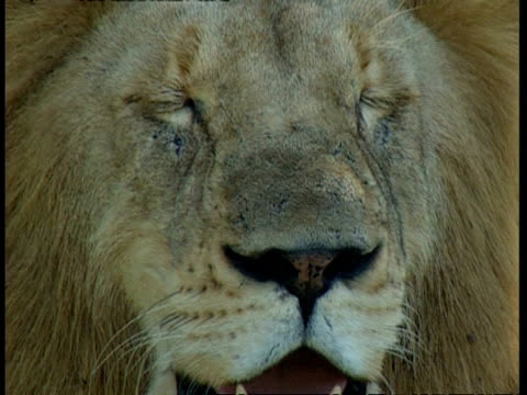 BCU lion's face with eyes closed, shaking head, tilt down to panting mouth