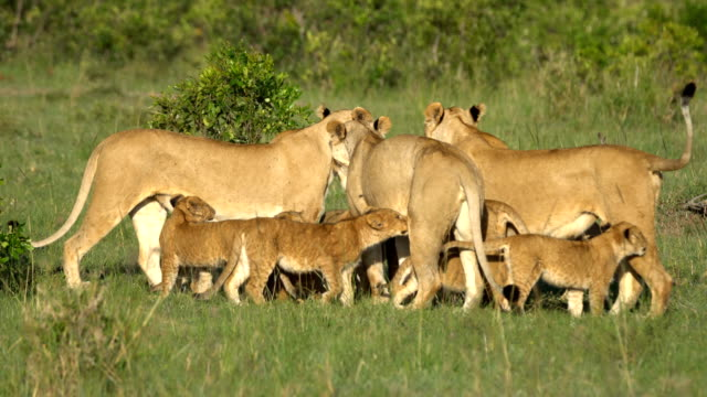 Lions family in African savanna