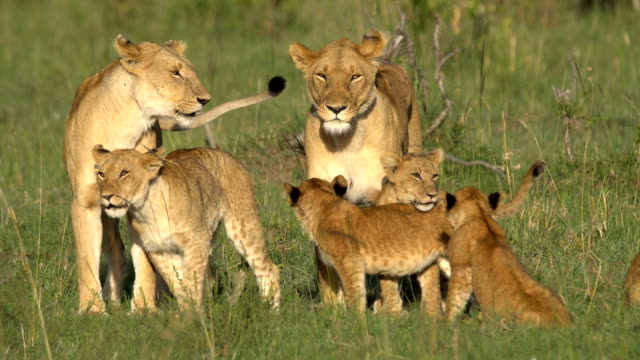 lions family in african savanna - young animal video stock e b–roll