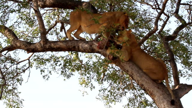 lions feeding in tree/ kruger national park/ south africa - krüger nationalpark stock-videos und b-roll-filmmaterial
