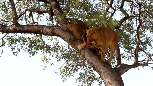 lions feeding in tree/ kruger national park/ south africa - löwe großkatze stock-videos und b-roll-filmmaterial