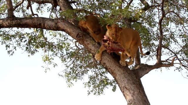lions feeding/ kruger national park/ south africa - krüger nationalpark stock-videos und b-roll-filmmaterial