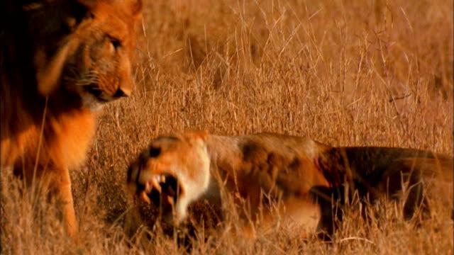 vídeos y material grabado en eventos de stock de lions fight on the grassy savanna. - felino grande