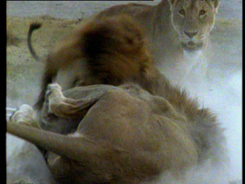 lions fight - male animal stock videos & royalty-free footage