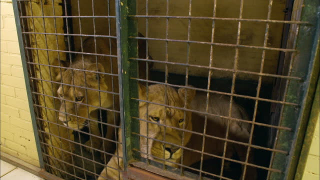 vídeos de stock e filmes b-roll de lions in captivity - captive animals