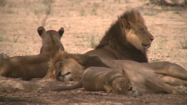 lions in the kalahari - shade stock videos and b-roll footage