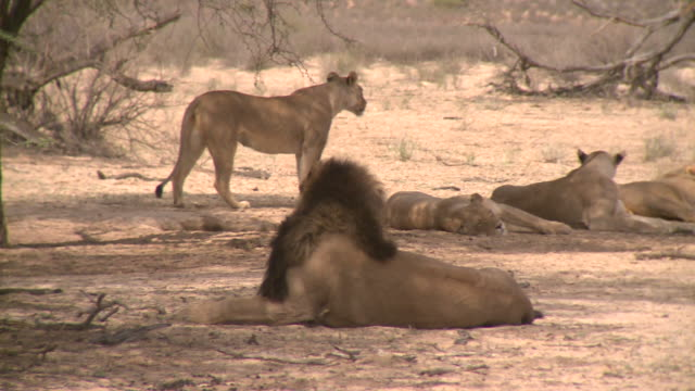 lions in the kalahari - 2010 stock videos and b-roll footage