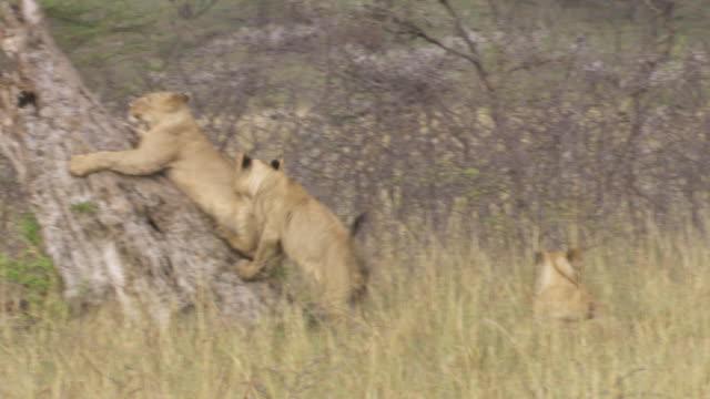 ms pan  zo lions jumping on tree / tanzania - gruppo medio di animali video stock e b–roll