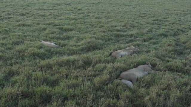 vidéos et rushes de lions lying down at sunrise - petit groupe d'animaux