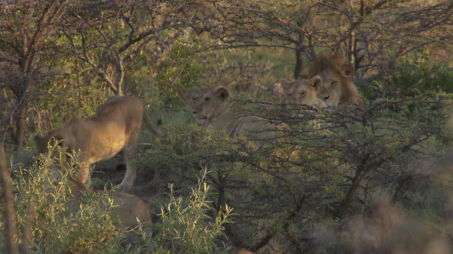 stockvideo's en b-roll-footage met  ms lions lying in grass surrounded by trees / tanzania - kleine groep dieren